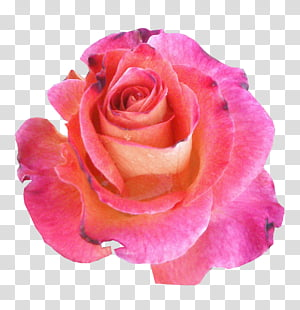 Miscellaneous Roses , pink and red petaled flower PNG