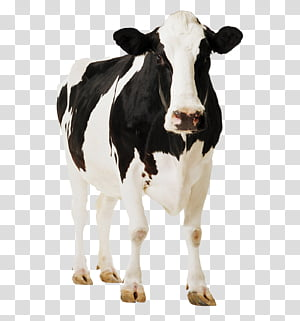 cow, dairy cow PNG clipart