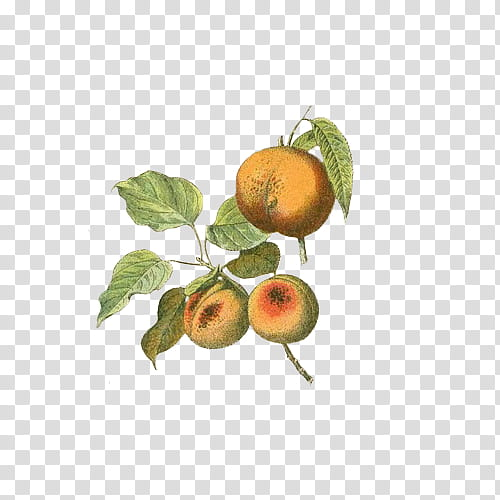 Fruit, pear fruits PNG clipart