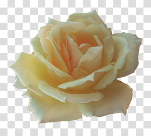 Miscellaneous Roses , beige rose flower PNG