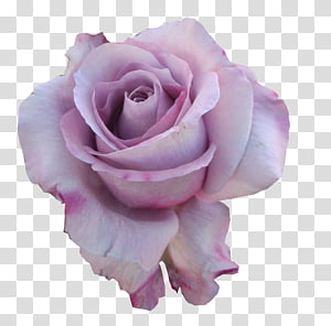 Miscellaneous Roses , pink rose flower PNG