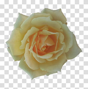 Miscellaneous Roses , beige flower PNG
