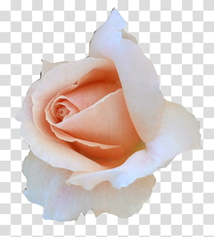 Miscellaneous Roses , pink rose PNG