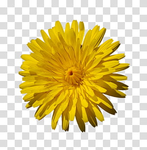 Yellow Flowers, yellow dandelion flower in bloom PNG
